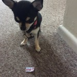 Chihuahua and ant sized ticked for Ant Man