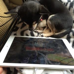 Chihuahua watching film on iPad