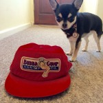 Chihuahua and Bubba Gump hat