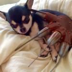 Chihuahua and Freddy Krueger glove