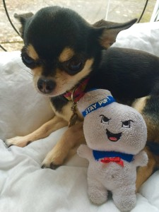 Chihuahua and Ghostbusters Stay Puft