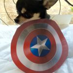 Chihuahua with Captain America shield