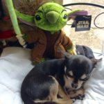 Chihuahua and Disney's Stitch as Yoda