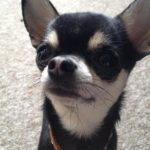 Chihuahua promotes blog post