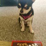 Chihuahua and Wonka bar