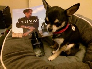 Chihauhua with Sauvage aftershave
