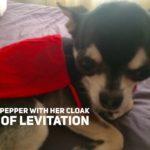 Chihuahua in red cloak