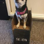 Chihuahua in a box and 7 on DVD