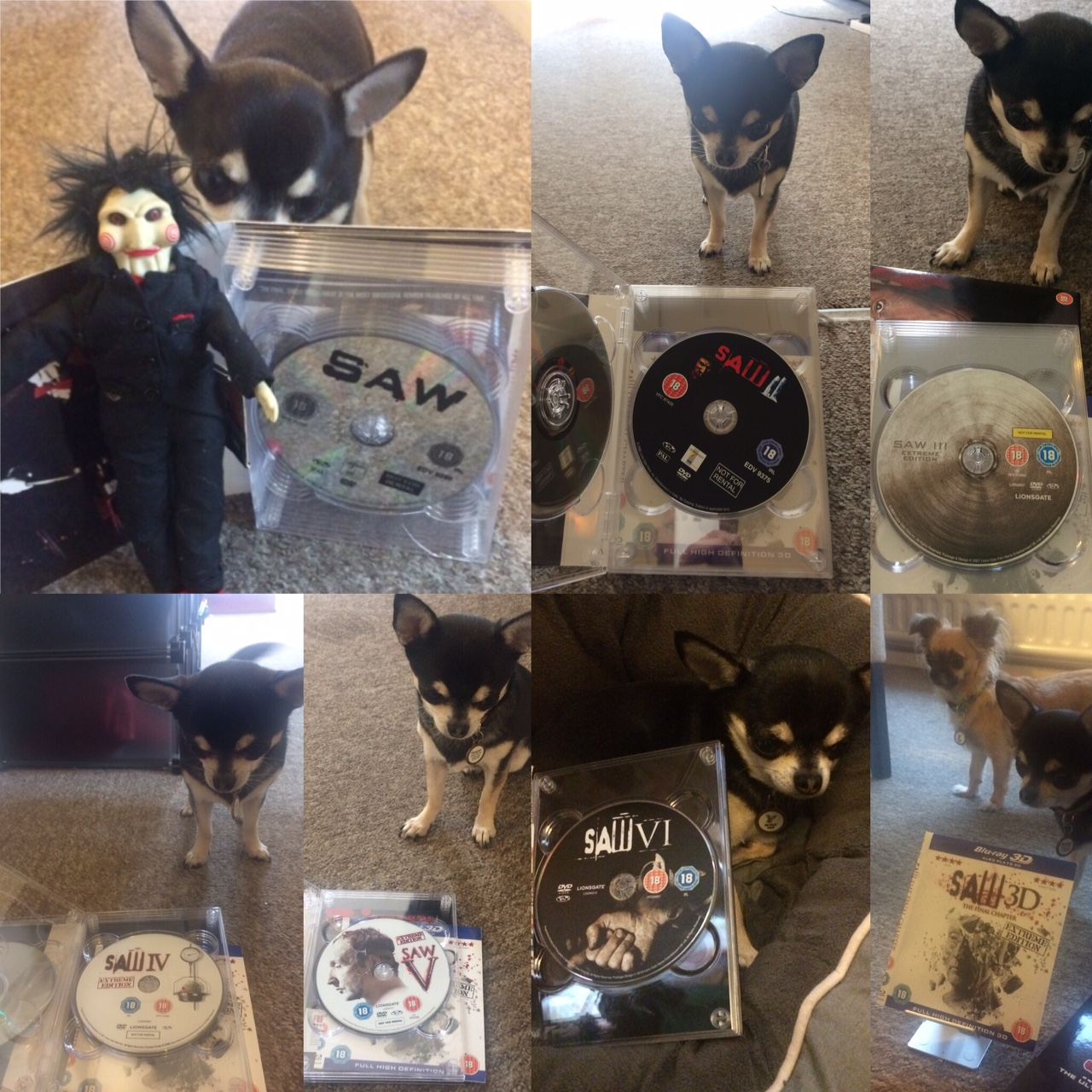 Chihuahua with Saw movies on DVD