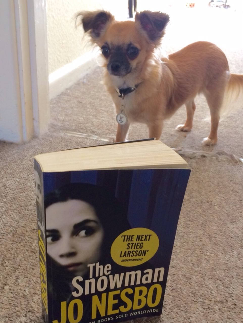 Chihuahua with Jo Nesbo book The Snowman