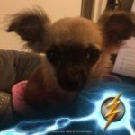 Chihuahua with The Flash Logo for our Justice League review