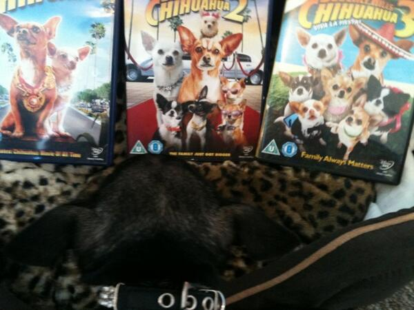 Chihuahua with Beverly Hills Chihuahua trilogy on DVD