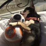 Chihuahua and BB-8