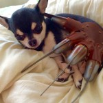 Chihuahua and Freddy Krueger glove