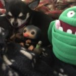 Chihuahua with movie merchandise