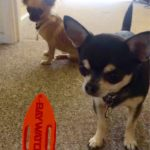 The BMAF Chihuahua Lifeguards