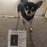 Chihuahua with It cinema ticket