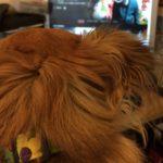 Chihuahua watching Netflix