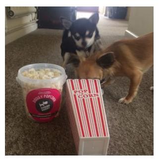 Chihuahuas in Popcorn Carton