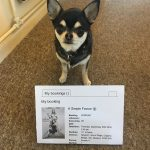 Chihuahua with our cinema ticket to see A Simple Favour